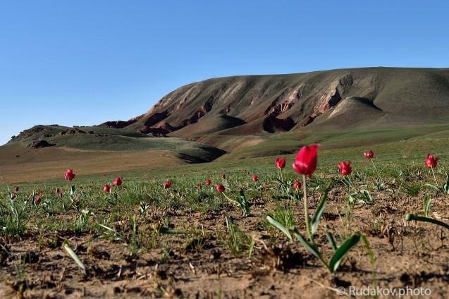 Тюльпаны Большого Богдо