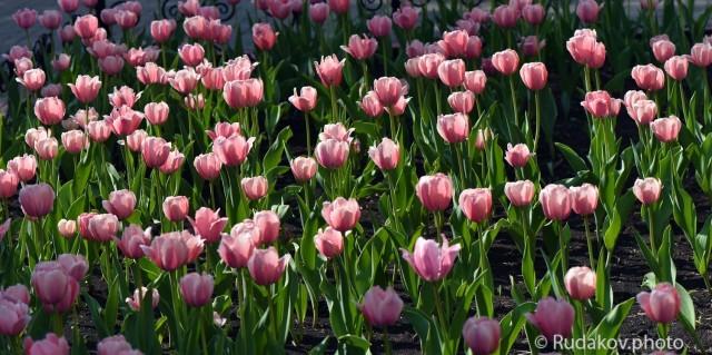 Панорама тюльпаны