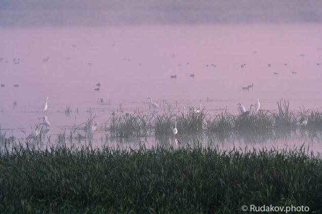 Белые цапли на розовой воде