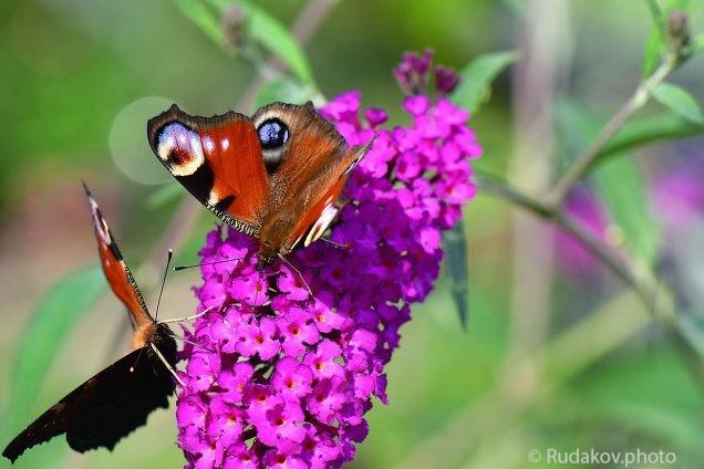 Бабочки на будлее