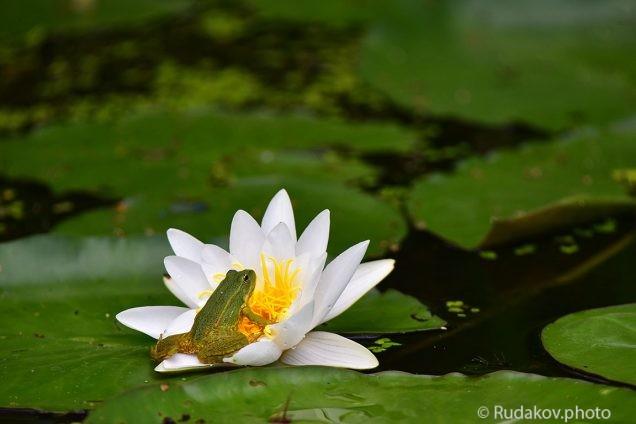 Лягушка и лилия