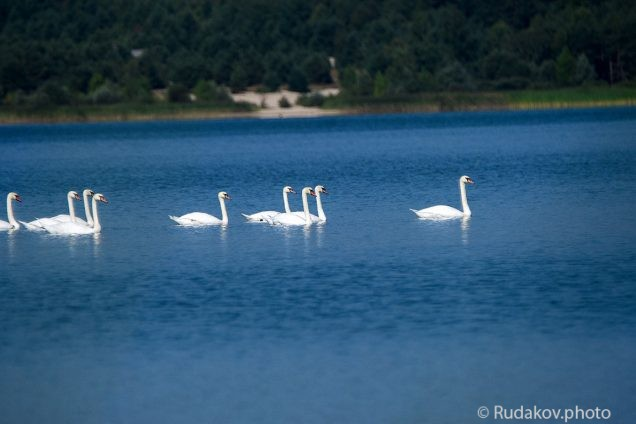 Горделиво проплывали девять белых лебедей
