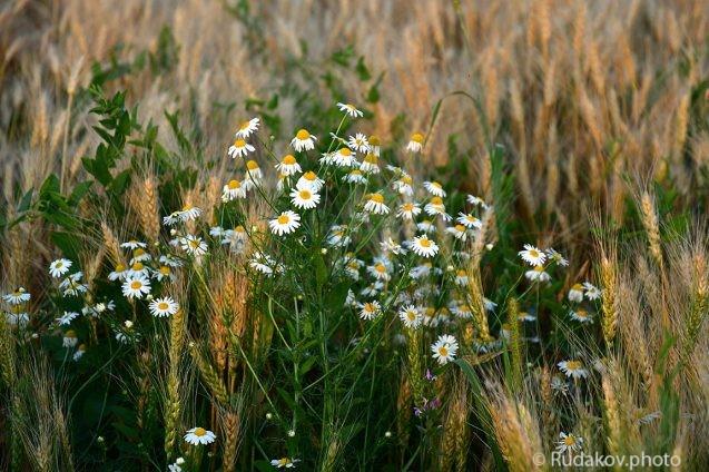 Ромашки на пшеничном поле