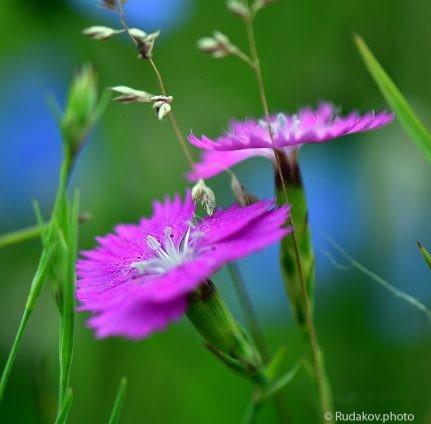 Свет гвоздики (из серии цветы луговые)