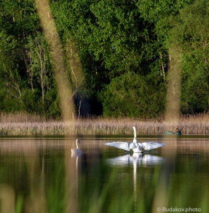 Лебеди на Медном