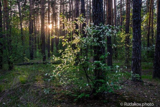 Черемуха в сосновом лесу