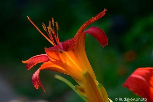 Свет лилии