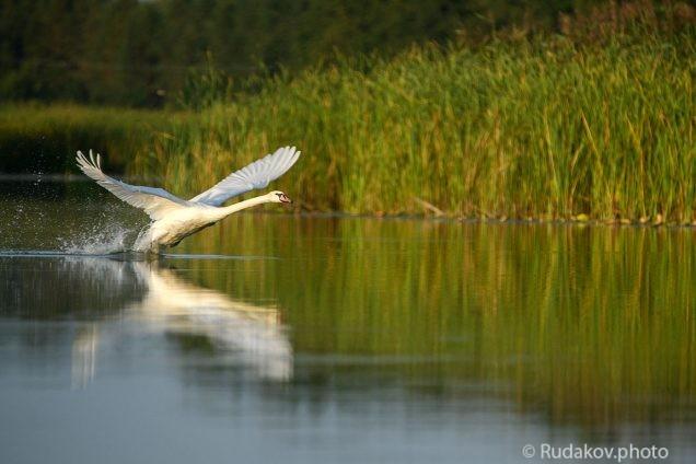 Взлетающий лебедь