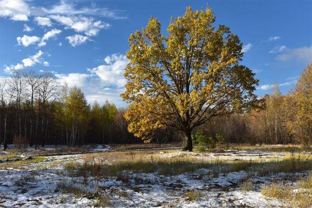 Золотой дуб на первом снегу
