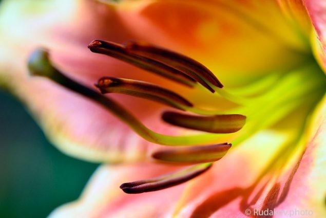 В сердце лилии