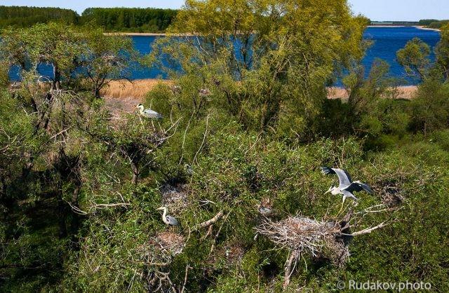 Цапли на гнездах
